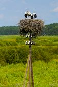 Young storks, nest of storks.