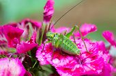 Green grasshopper on carnation flower