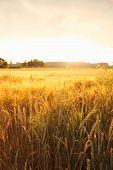 Ripe Wheat Ears On Field As Background