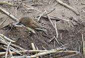 stock photo of beaver  - Baby Beaver on beaver dam in pond - JPG
