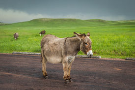 pic of burro  - wild burros in South Dakota with green spring grass and a storm building up - JPG