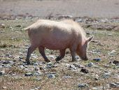 Domestic Pig poster