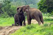 Elephants touching trunks