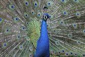 Peacok Male Close Plumage