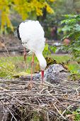 White stork at the nest
