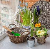 foto of primrose  - Spring primroses hyacinths and primroses near the basket and a shovel on the window - JPG