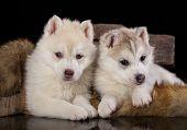 tvo Siberian Husky puppy