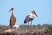 White storks with  young baby stork on the nest - Ciconia ciconia