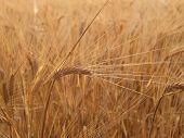 Barley (Hordeum distichum) head