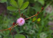 Pudica Mimosa Flower