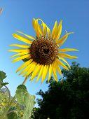 Beautiful Sunflower Heart Shape