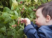 Child Picking Raspberries