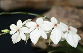 stock photo of epiphyte  - Beige Aerangis Orchid  - JPG