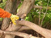 stock photo of prunes  - Pruning for tree maintenance in a wood