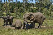 Elephants make mud bath