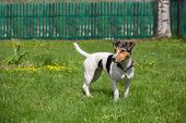 picture of jack russell terrier  - Jack Russell Terrier on a green lawn - JPG
