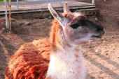 pic of lamas  - Lama guanicoe beautiful closeup on nature background - JPG