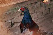 pic of pheasant  - Pheasant Phasianus close - JPG