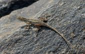 pic of lizards  - long tail little lizard on the rock in nature - JPG