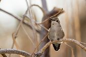 pic of hummingbirds  - Adult female hummingbird perched on a small branch - JPG