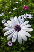stock photo of moon-flower  - group of beautiful african moon flowers in a garden - JPG