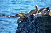 pic of sea lion  - Sea lions resting on a cliff by the sea. ** Note: Soft Focus at 100%, best at smaller sizes - JPG