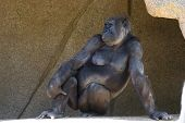 pic of gorilla  - adult western gorilla posing in the shade at a zoo - JPG