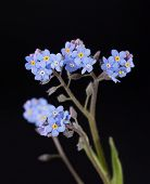 picture of forget me not  - Tiny blue Forget - JPG