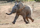 stock photo of herbivore animal  - Excited baby African elephant running to a waterhole - JPG