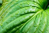 stock photo of monocots  - Detail of a green Hosta leaf with rain drops after the storm  - JPG