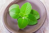 stock photo of oregano  - Twig cuban oregano on dark plate - JPG