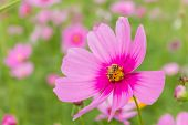 stock photo of cosmos  - bee on pink cosmos flower in the garden - JPG