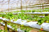 foto of row houses  - growing strawberry rows in a green house - JPG
