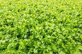 picture of iceberg lettuce  - Background of freshly grown lettuce  - JPG