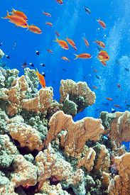picture of fire coral  - coral reef with fire coral and exotic fishes Anthias at the bottom of tropical sea - JPG