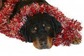 Canine Christmas
