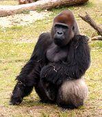 Unhappy Gorilla