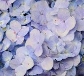 Постер, плакат: Close up Of Hydrangea Flower