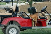 Golf Cart Full Of Dogs