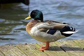 A Beautiful Mallard Duck After Sunning