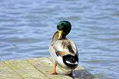 A Mallard Duck Preening Its Feathers
