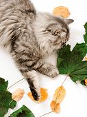 Animal In The  In Summer. Beautiful Grey Cat With Yellow Eyes.cute Tabby And  Furry Cat In Park. Top poster