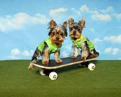 Yorkies on a Skateboard