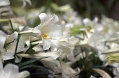 Flowering Lilies 2