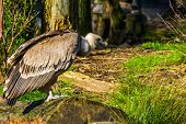 Closeup Portrait Of A Griffon Vulture On A Tree Trunk, Common Scavenger Bird From Europe poster