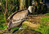 Closeup Of A Griffon Vulture Standing On A Tree Trunk, Common Scavenger Bird From Europe poster