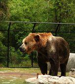 Big Bear In A Zoo