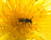 picture of mayfly  - a small wasp resting on a yellow flower or a baby bee - JPG