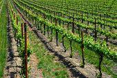 Grape Vines Gilroy California