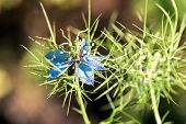 Close Up Of A Single Pale-blue Flower Of Love-in-a-mist Or Ragged Lady Or Devil In The Bush Against  poster